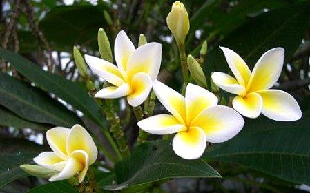 fiore champa