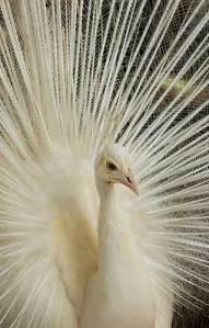 pavone-bianco