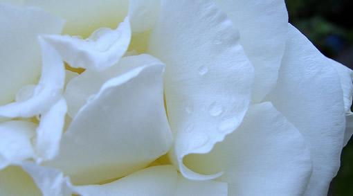 Fiore Bianco e Purezza - by Axinia