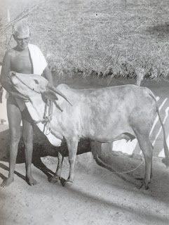 Risultati immagini per lakshmi la mucca di ramana
