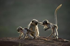 scimmie sacre