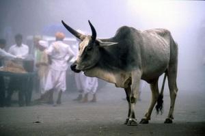 vacca-sacra
